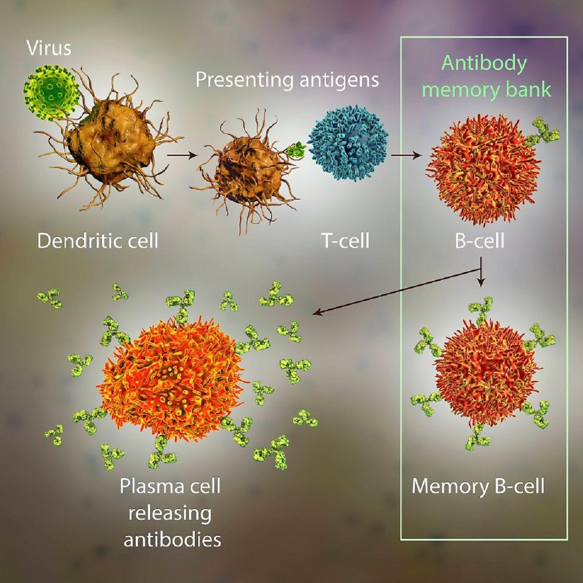 Epitoplar Covid-19 aşı için temel T hücreleri Sars-CoV-2 ile başlar