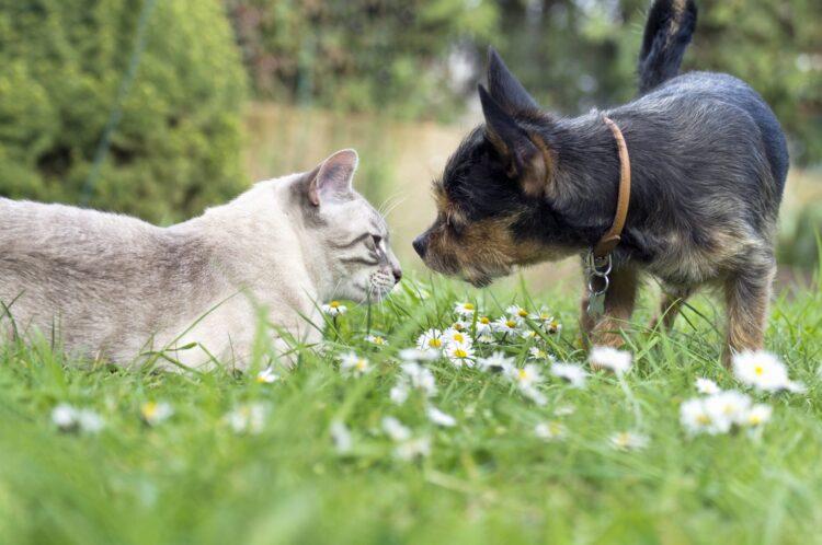 Kene koruması: Bu ajan, evcil hayvanlar için hayati tehlike oluşturabilir